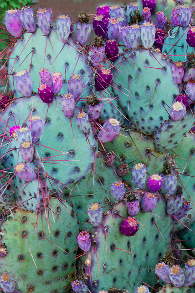 Cactus Fruit Galore