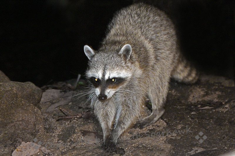 Momma Racoon Comes to Call