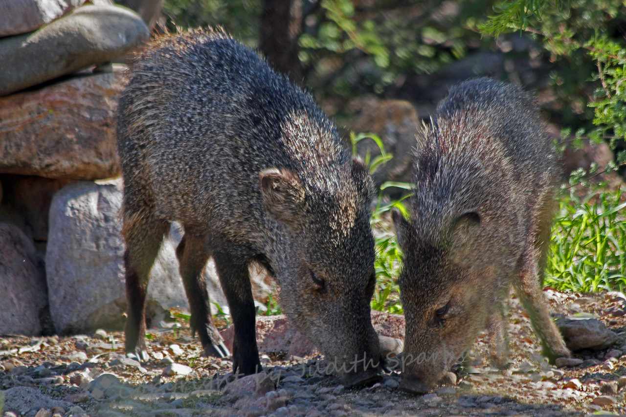 Javelina in the Morning ~ I made an early morning visit to a birding spot in Portal, Arizona.  Just before I left, a group of Javelinas, the local wild pigs, stopped by.  There were two adults and several young, one much smaller than the rest.