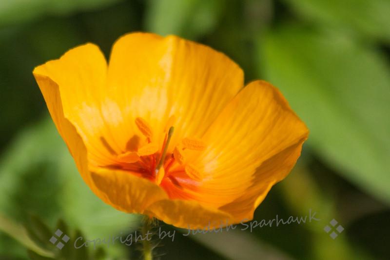 Desert Poppy Close-up