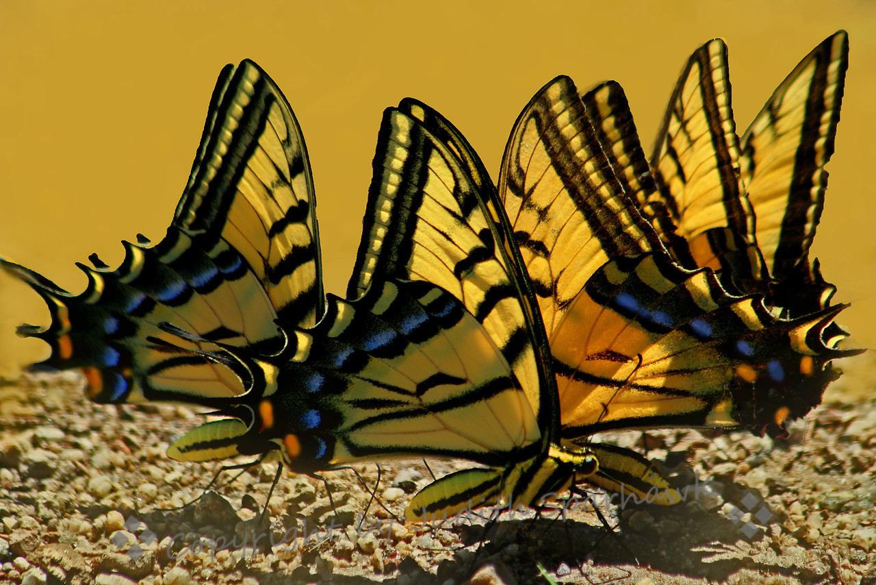 Dance of the Swallowtails
