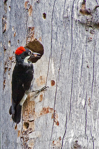 Acorn Woodpecker at the Nest