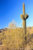 McDowell Mountain Preserve, the Palo Verde plant is really green.  As a defense against the desert heat, it has tiny leaves (when it has leaves) and the trunk and branches have chlorophyll to replace the leaves.