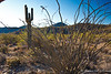 """McDowell Mountain Preserve, Ocotillo plant in foreground which are quite thorny.  These plants will grow """"leaves"""" after a rain and flower as well."""