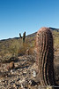 McDowell Mountain Preserve, Fish Hook Barrel Cactus so named because of the hook shape of the spines.