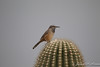 Cactus Wren, not a surprising place to find one of these.