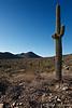 McDowell Mountain Preserve, Saguero Cactus