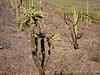 Chain Fruit Cholla-0029