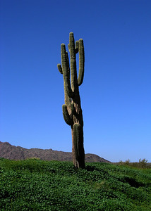 Big old Saguaro   Fountain Hills is surrounded by the 2,800 foot McDowell Mountains on the west, the Fort McDowell Indian Reservation on the east, the Salt River Indian Reservation on the south and by the McDowell Mountain Regional Park on the north.