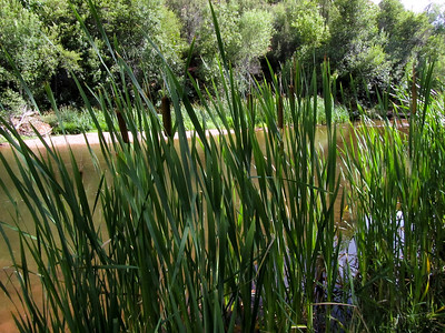 Cattails at Oak Creek