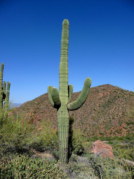 One happy saguaro.