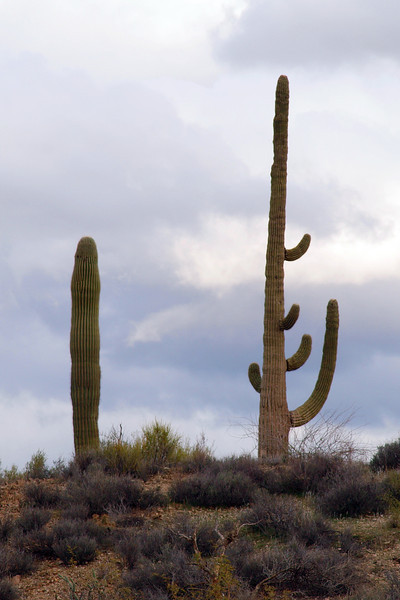 One happy saguaro.