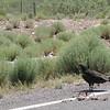Turkey Vulture (I-10 roadside)