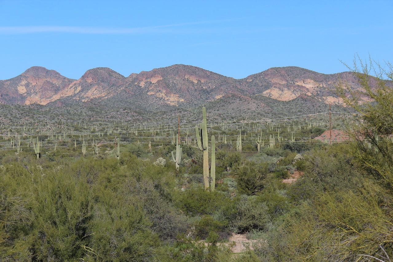 Many Saguaro