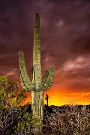 cactus 20x30 ltr saguaro sunset CvCk 7491cf ton DEx