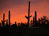 Cactus Silhouette red sky 3979