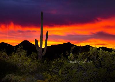 cactus sunset bushes 7506