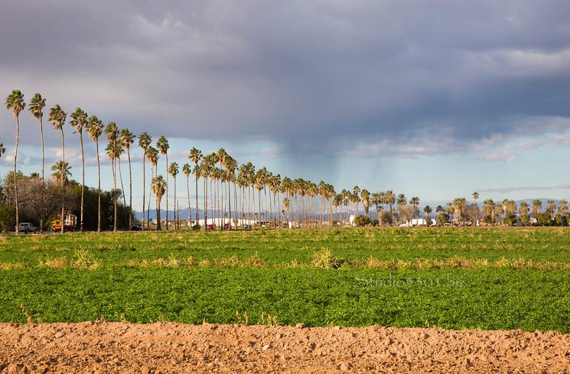 Palm trees & field White tank 6975