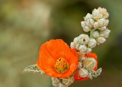 orange flower cvck 6742c cf DEx ProC