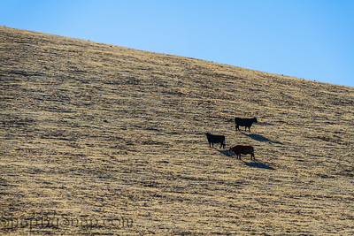 Cows grazing on the side of a hill