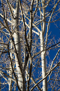 The bare tops of aspen trees against a blue sky