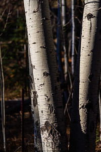 The base of an aspen tree with two trunks