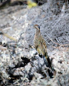 Arizona Travel Photography - Roadrunner
