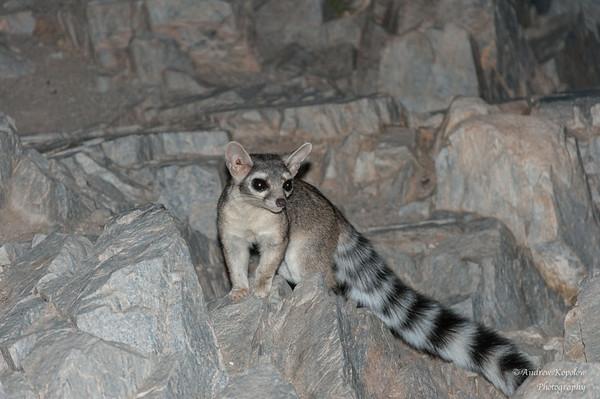 Ringtail Cat