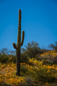 Hill top Saguaro with Poppies