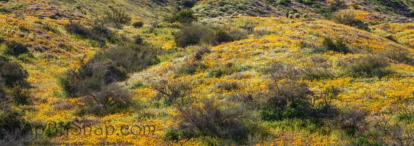 Hillside California Poppy Super Bloom Panorama