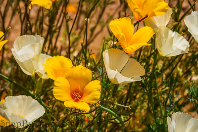 Close up of California Poppies and Ivory Castles