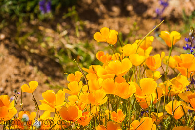 Close up of California Poppies