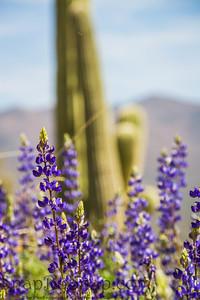 Texas Lupine with Saguaro Cactus