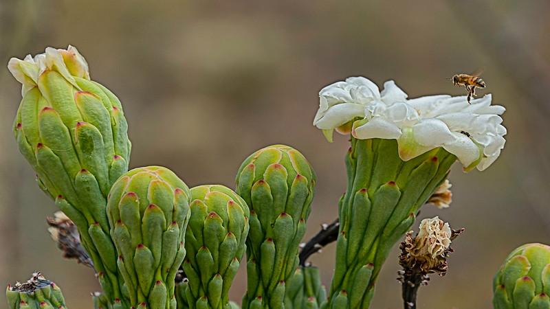 20190520-SaguaroW_Cacti-flowers-612401-TK7-TP-2-all