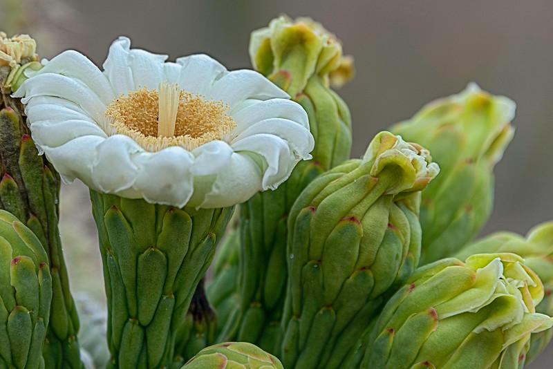 20190520-SaguaroW_Cacti-flowers-612489-TK7-TP-2-all