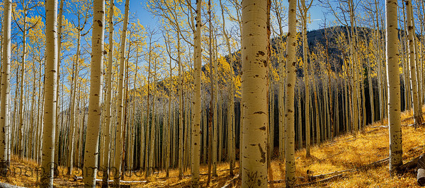 Panoramic aspen forest with golden yellow leaves