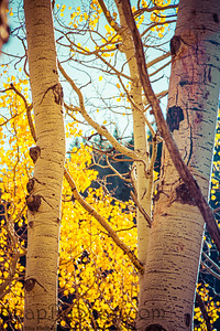 Closeup of the golden yellow leaves of aspen trees tree during fall
