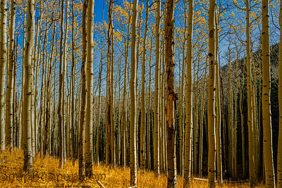 Aspen forest with golden yellow leaves