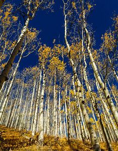 Looking up through the golden leaves of aspen trees in the fall