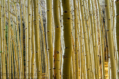 A grove of aspen trunks