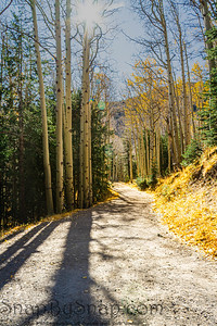 A trail through a forest of aspen trees