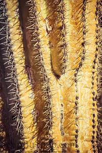 Detail of a Saguaro Cactus