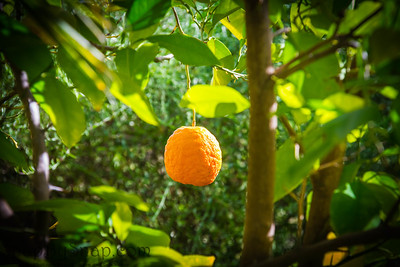 A Single Orange Hanging in a Tree