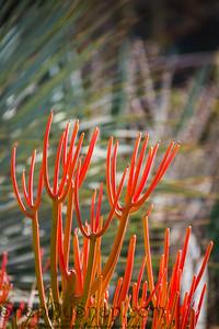 Fire Stick Cactus