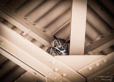 Great Horned Owl, Casa Grande Ruins, AZ