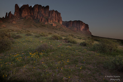 Mexican Poppies closing up shop for the night at Lost Dutchman State Park