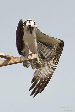 Osprey Stretch, Gilbert Riparian Preserve