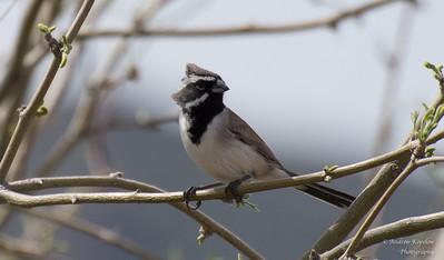 Black-Throated Swallow, Bartlett Lake