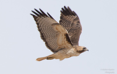 Red-Tailed Hawk  Carefree, AZ