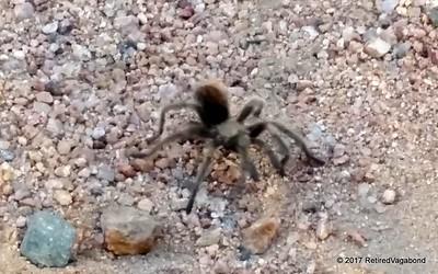 Tarantula Visits